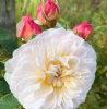 Rosa 'Emily Bronte'  New English Shrub Rose 7.5L